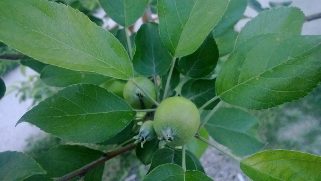 Tiny apples on our tree